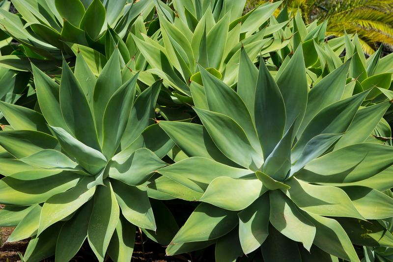Santa Fe Landscape Pros - What Plants Do Well In New Mexico- Agave