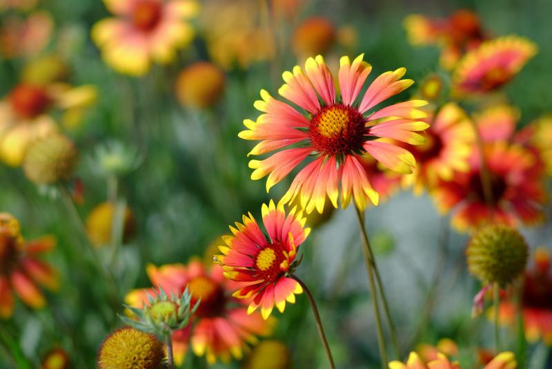Santa Fe Landscape Pros - What Plants Do Well In New Mexico - Blanket Flower