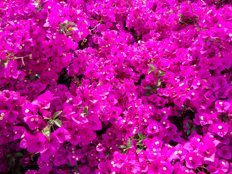 Santa Fe Landscape Pros - What Plants Do Well In New Mexico - Bougainvillea