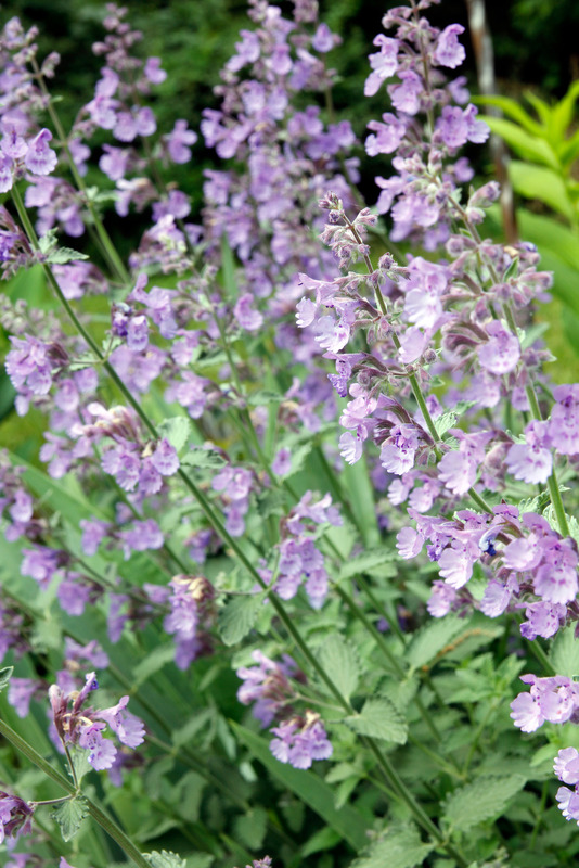 Santa Fe Landscape Pros - What Plants Do Well In New Mexico - Catmint