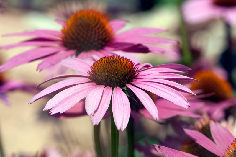 Santa Fe Landscape Pros - What Plants Do Well In New Mexico - Coneflower