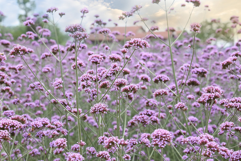 Santa Fe Landscape Pros - What Plants Do Well In New Mexico - Verbena